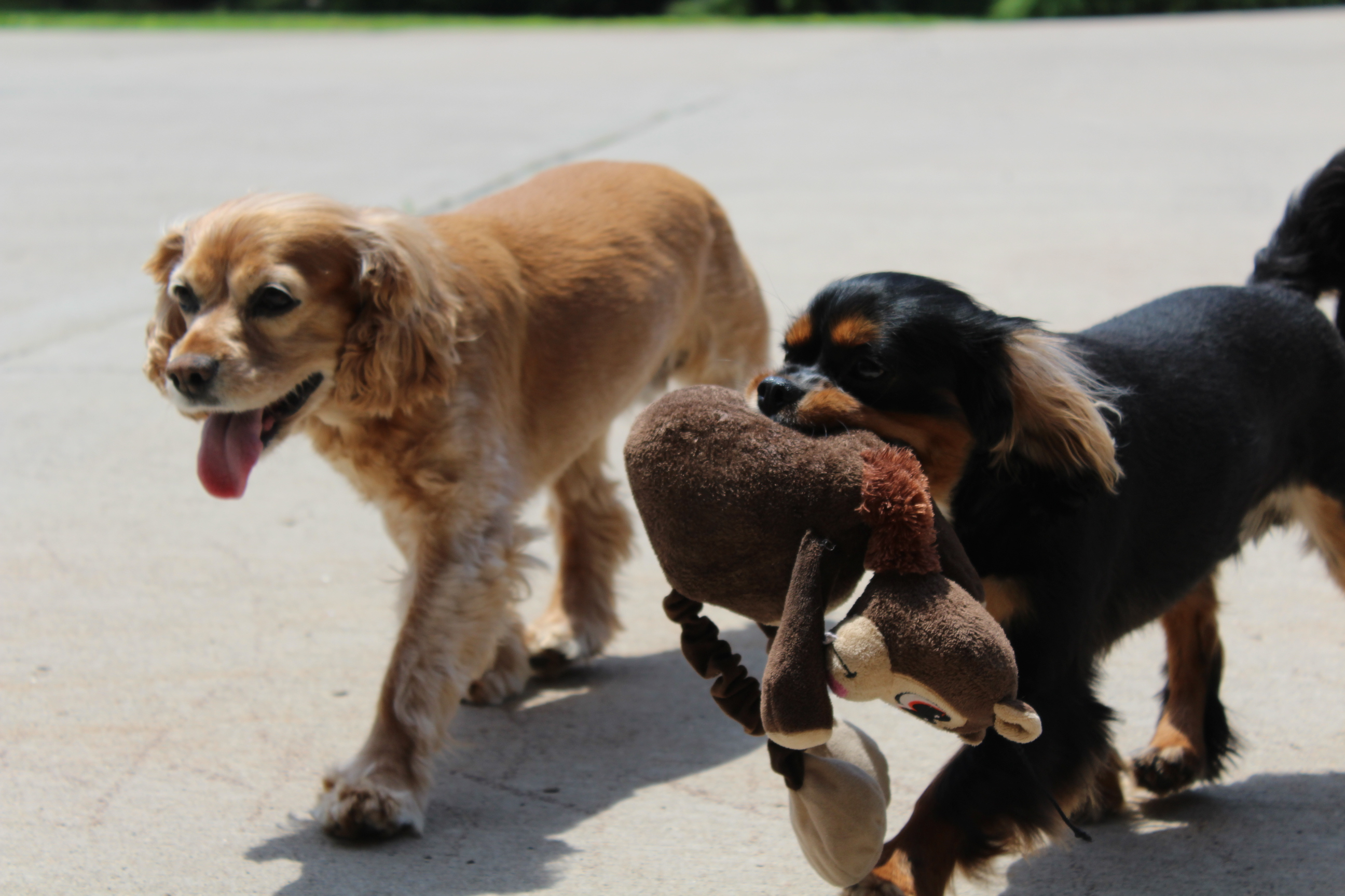 Dogs walking with toy